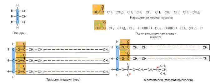 Глицерин и жирные кислоты - главные молекулы для образования триацилгрицериды и фосфолипиды