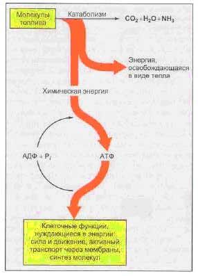Потоки химической энергии от молекул топлива к АТФ и теплу и от АТФ к клеточным функциям, нуждающимся в энергии