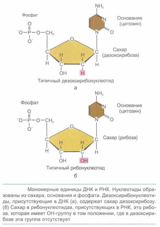 ДНК и РНК