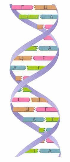 Молекула ДНК представляет собой две параллельные нити.
