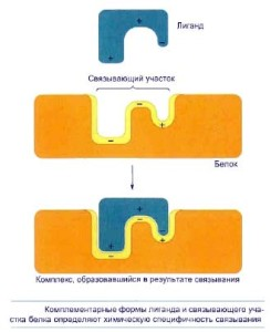 Ферментативная реакция
