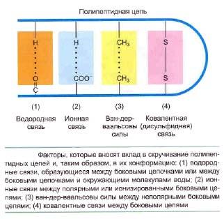 Скручивание полипептидных цепей