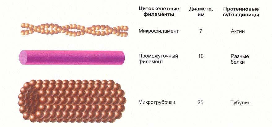 Белки - структурные элементы клетки