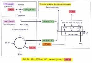 Энергетический выход окисления глюкозы до углекислого газа и воды в процессе клеточного дыхания составляет 38 молекул АТФ