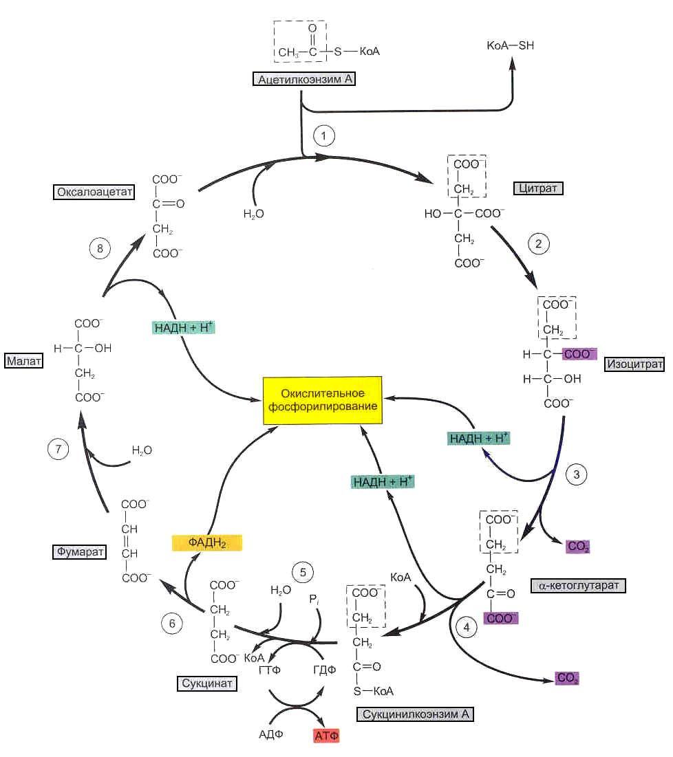 Схема энергетического обмена в клетке фото 505
