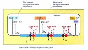 """""""Перекачивание"""" протонов из матрикса митохондрий в межмембранное пространство"""