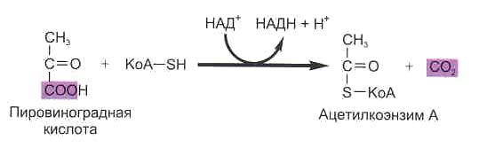 Кислородный этап энергетического обмена