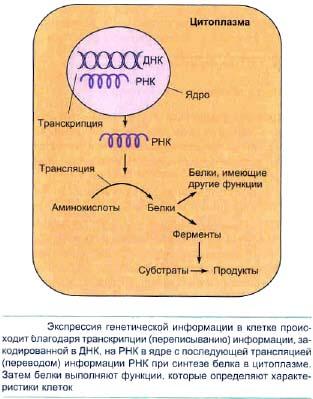 Биосинтез белков. Транскрипция.