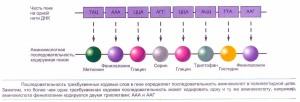 Последовательность трехбуквенных кодовых слов определяет последовательность аминокислот в полипептидной цепи.