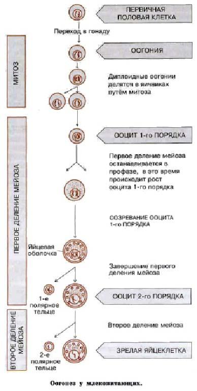 Оогенез