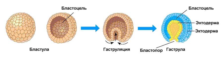 Эмбриональное развитие