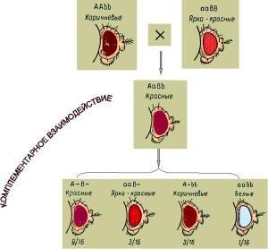 Комплементарное взаимодействие генов