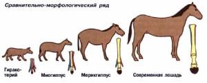 Доказательства эволюции. Сравнительно-морфологический ряд.