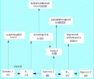 Автополиплоидия и аллополиплоидия