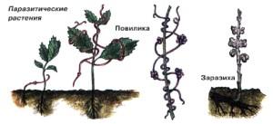 Паразитические растения