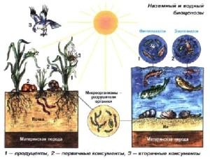 Наземный и водный биоценозы