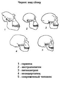 Сравнение черепов