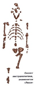 Скелет австралопитека
