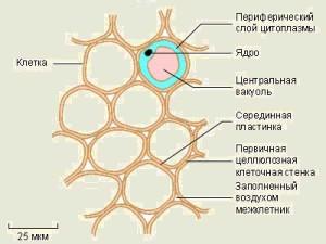 Основные ткани растений