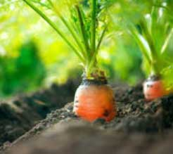 Корень (Морковь)