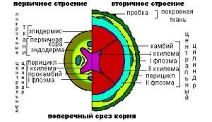 Первичное и вторичное строение корня