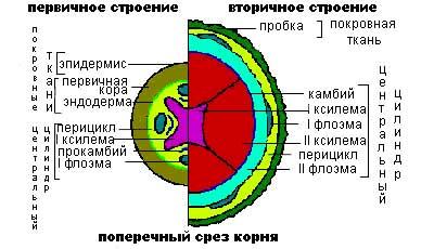 Анатомическое отличие вторичного корня от вторичного стебля