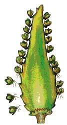 Вегетативное размножение с помощью почек