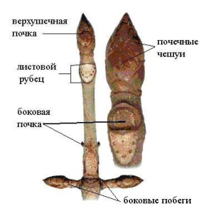 Верхушечная и пазушные почки