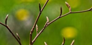 Почки растений весной
