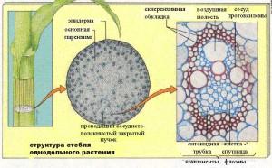 Структура стебля однодольных растений