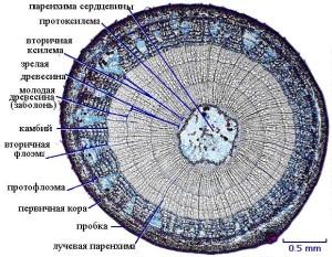 Строение стебля у древесных растений
