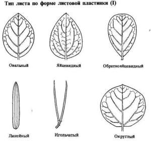 Тип листа по форме листовой пластинки