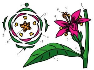Пример диаграммы цветка