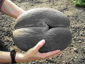 Плод пальмы Коко-Де-Мер